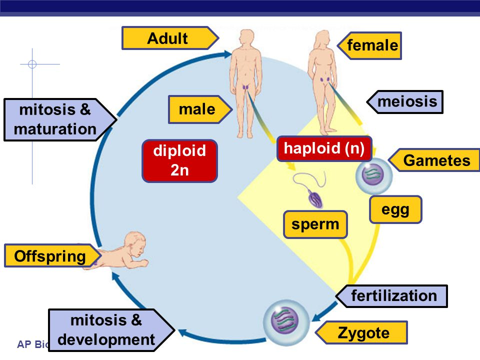 AP Biology Reproduction  Asexual  budding in yeast  Sexual  spores  spread by wind  joining of + & – haploid spores haploid spores