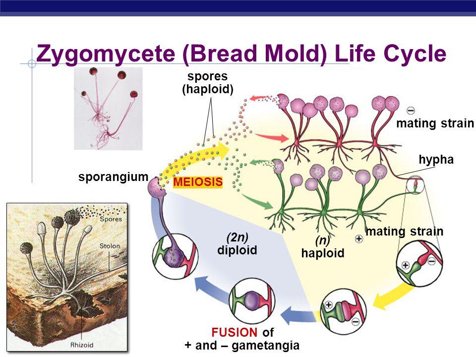 AP Biology Adult Offspring Gametes Zygote egg sperm diploid 2n haploid (n) meiosis fertilization mitosis & development mitosis & maturation male femal