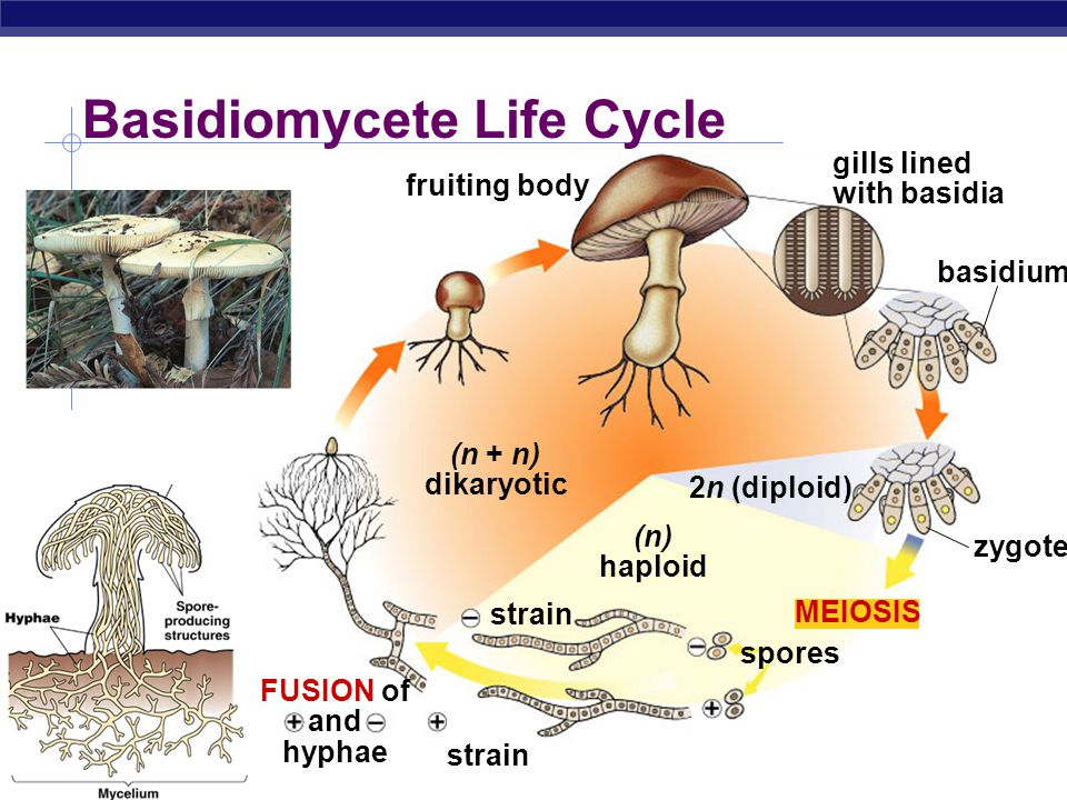 AP Biology hypha (n) haploid (2n) diploid mating strain FUSION of + and – gametangia sporangium spores (haploid) MEIOSIS Zygomycete (Bread Mold) Life