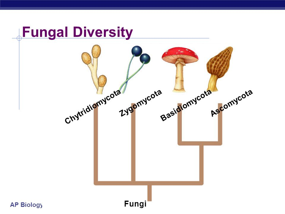 AP Biology plant cell fungal hypha plant cell membrane plant cell wall Modes of Nutrition  Heterotrophic  secrete digestive enzymes  feed by absorp