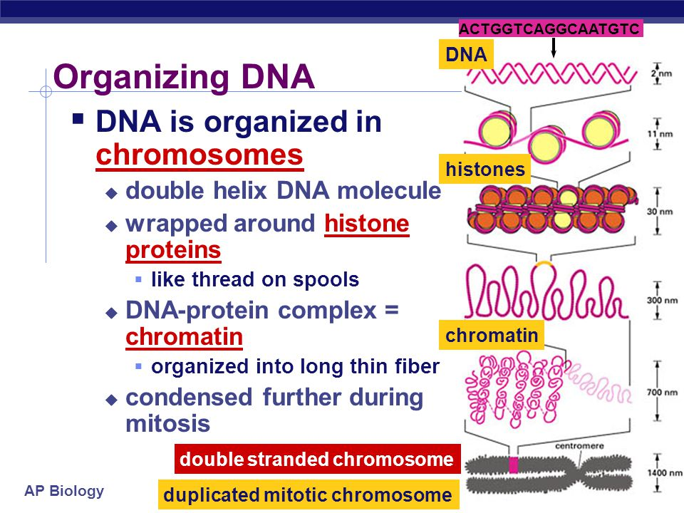 AP Biology  Synthesis phase of Interphase  dividing cell replicates DNA  must separate DNA copies correctly to 2 daughter cells  human cell duplic