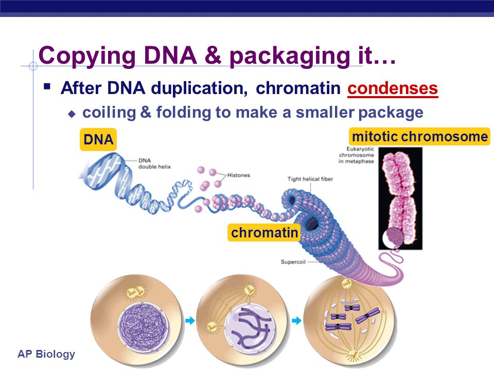 AP Biology Organizing DNA  DNA is organized in chromosomes  double helix DNA molecule  wrapped around histone proteins  like thread on spools  DN