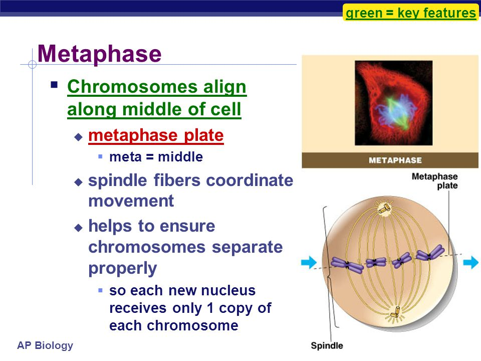 AP Biology Transition to Metaphase  Prometaphase  spindle fibers attach to centromeres  creating kinetochores  microtubules attach at kinetochores