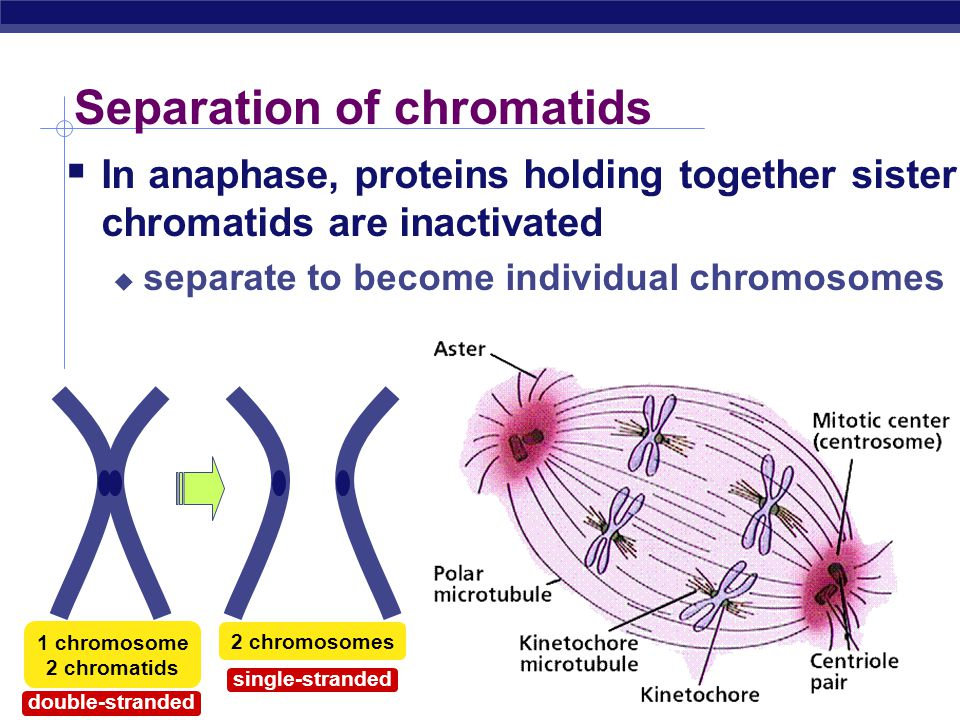 """Anaphase  Sister chromatids separate at kinetochores  move to opposite poles  pulled at centromeres  pulled by motor proteins """"walking""""along micro"""