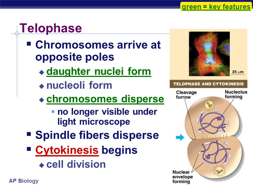"""AP Biology  Kinetochores use motor proteins that """"walk"""" chromosome along attached microtubule  microtubule shortens by dismantling at kinetochore (c"""