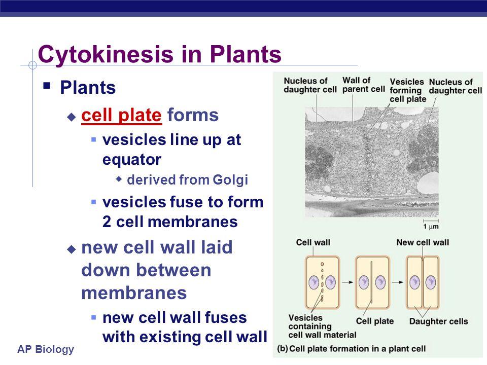 AP Biology Mitosis in animal cells