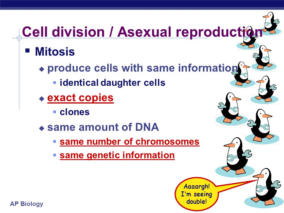 AP Biology Cell division / Asexual reproduction  Mitosis  produce cells with same information  identical daughter cells  exact copies  clones  same amount of DNA  same number of chromosomes  same genetic information Aaaargh.