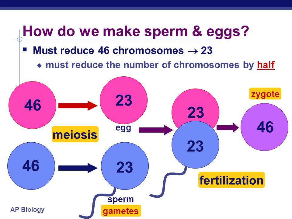AP Biology How do we make sperm & eggs.