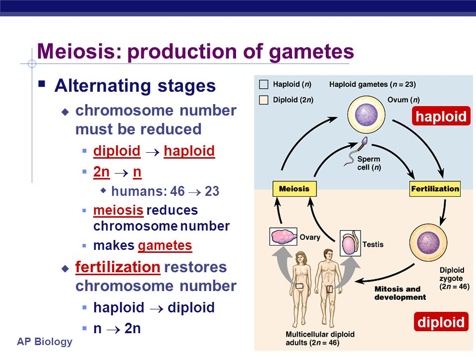 AP Biology Sperm production Epididymis Testis Coiled seminiferous tubules Vas deferens Cross-section of seminiferous tubule spermatozoa spermatids (haploid) secondary spermatocytes (haploid) primary spermatocyte (diploid) germ cell (diploid) MEIOSIS II MEIOSIS I  Spermatogenesis  continuous & prolific process  each ejaculation = 100-600 million sperm