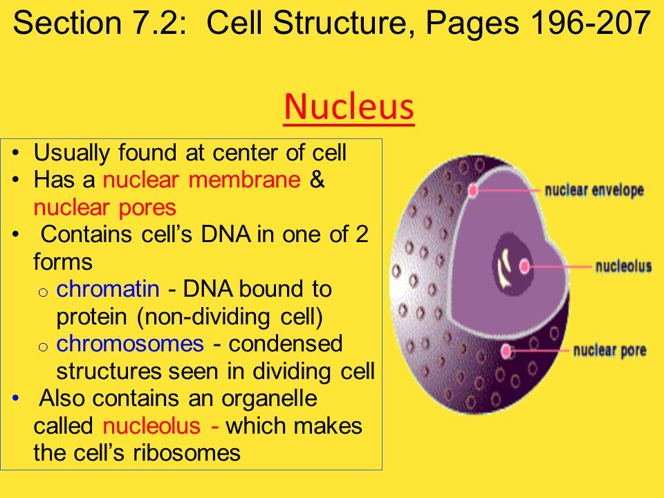 Usually found at center of cell Has a nuclear membrane & nuclear pores Contains cell's DNA in one of 2 forms o chromatin - DNA bound to protein (non-d