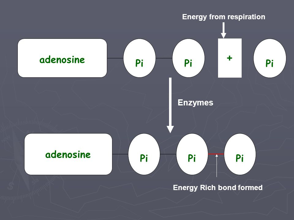 Summarised as: ADP + Pi ATP The whole process is under the control of enzymes
