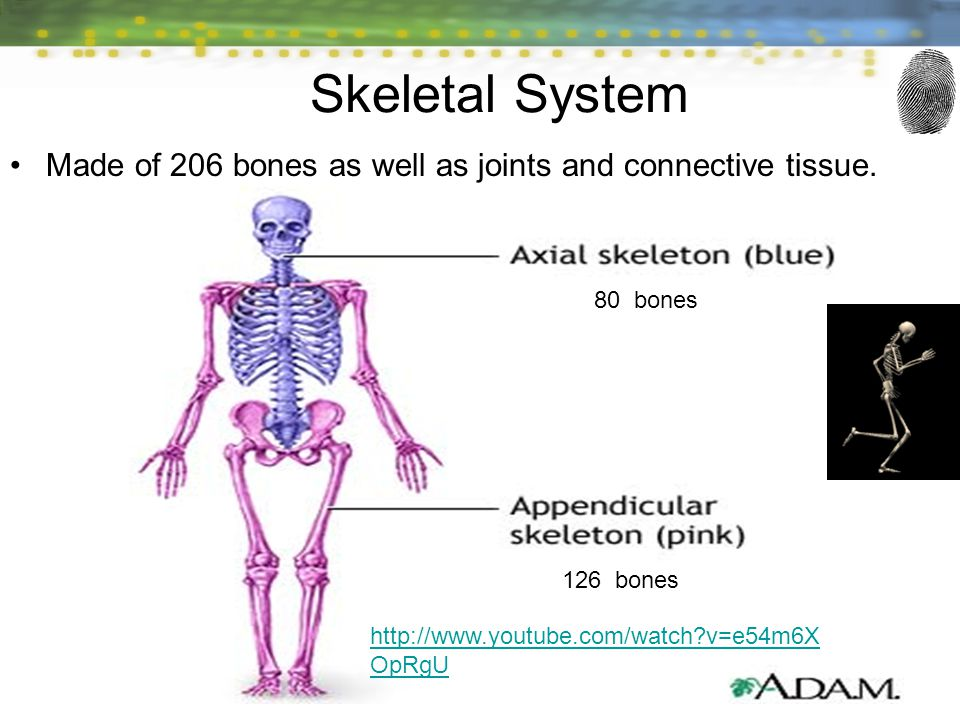 2 Skeletal System Made of 206 bones as well as joints and connective tissue.