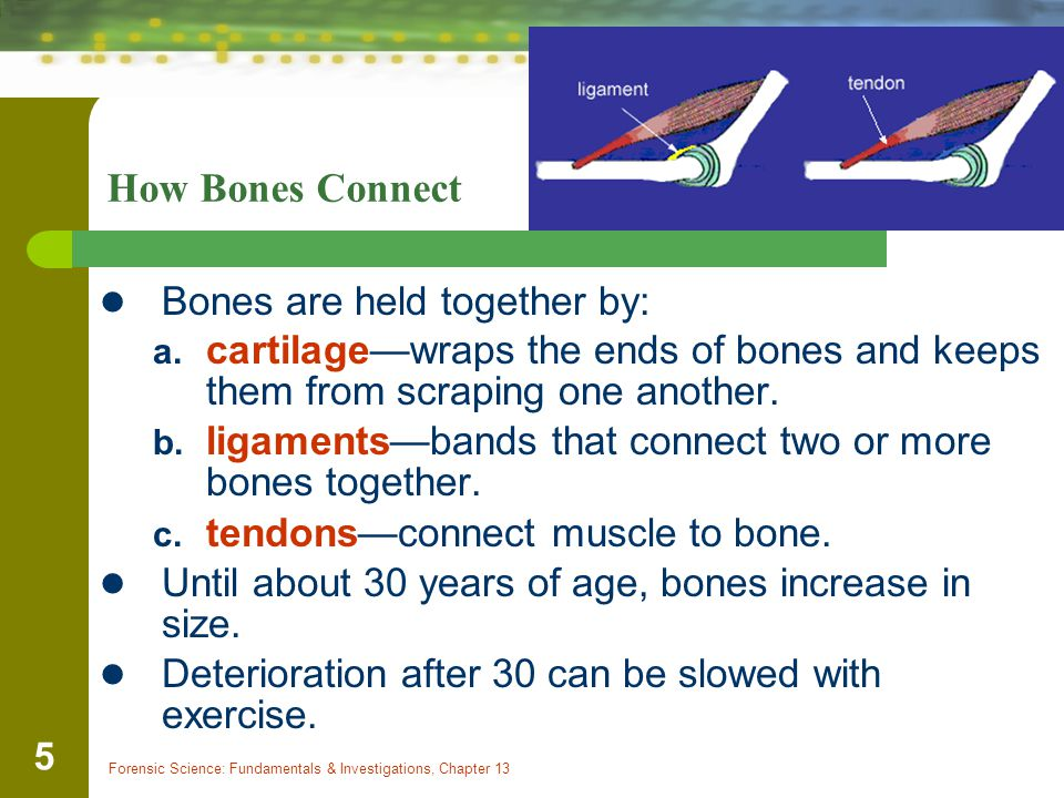 Forensic Science: Fundamentals & Investigations, Chapter 13 5 How Bones Connect Bones are held together by: a.