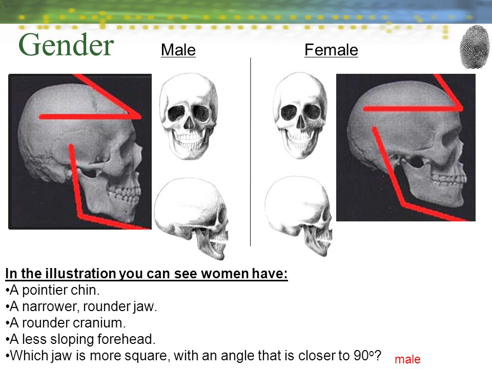 MaleFemale In the illustration you can see women have: A pointier chin.