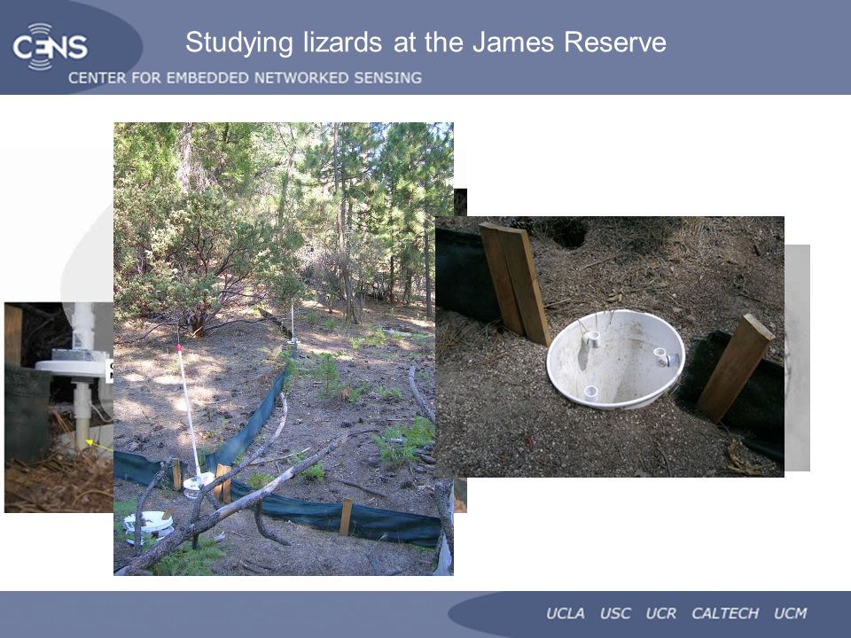 Studying lizards at the James Reserve