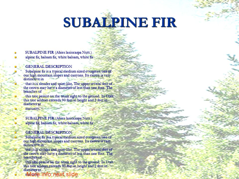 SUBALPINE FIR S SUBALPINE FIR (Abies lasiocarpa Nutt.) a alpine fir, balsam fir, white balsam, white fir G GENERAL DESCRIPTION S Subalpine fir is a typical medium sized evergreen tree of our high mountain slopes and canyons.
