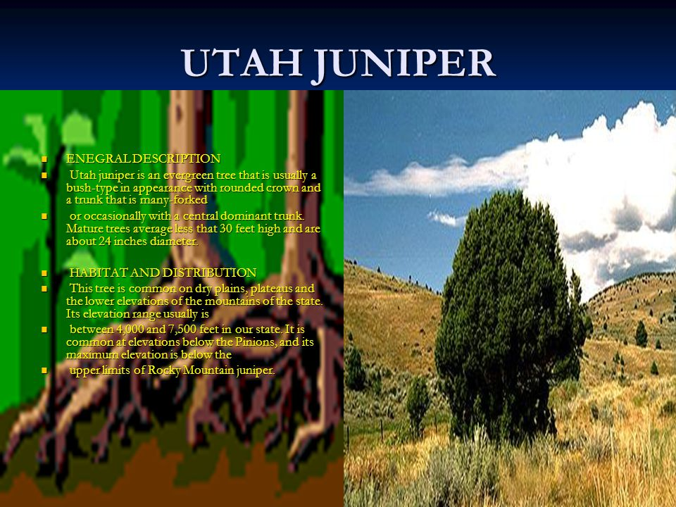 UTAH JUNIPER ENEGRAL DESCRIPTION ENEGRAL DESCRIPTION Utah juniper is an evergreen tree that is usually a bush-type in appearance with rounded crown and a trunk that is many-forked Utah juniper is an evergreen tree that is usually a bush-type in appearance with rounded crown and a trunk that is many-forked or occasionally with a central dominant trunk.