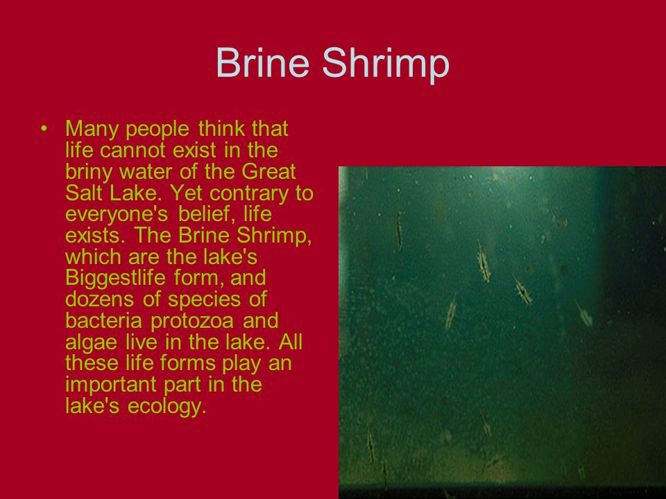 Brine Shrimp Many people think that life cannot exist in the briny water of the Great Salt Lake.