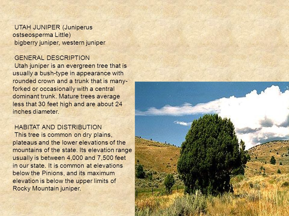 UTAH JUNIPER (Juniperus ostseosperma Little) bigberry juniper, western juniper GENERAL DESCRIPTION Utah juniper is an evergreen tree that is usually a bush-type in appearance with rounded crown and a trunk that is many- forked or occasionally with a central dominant trunk.