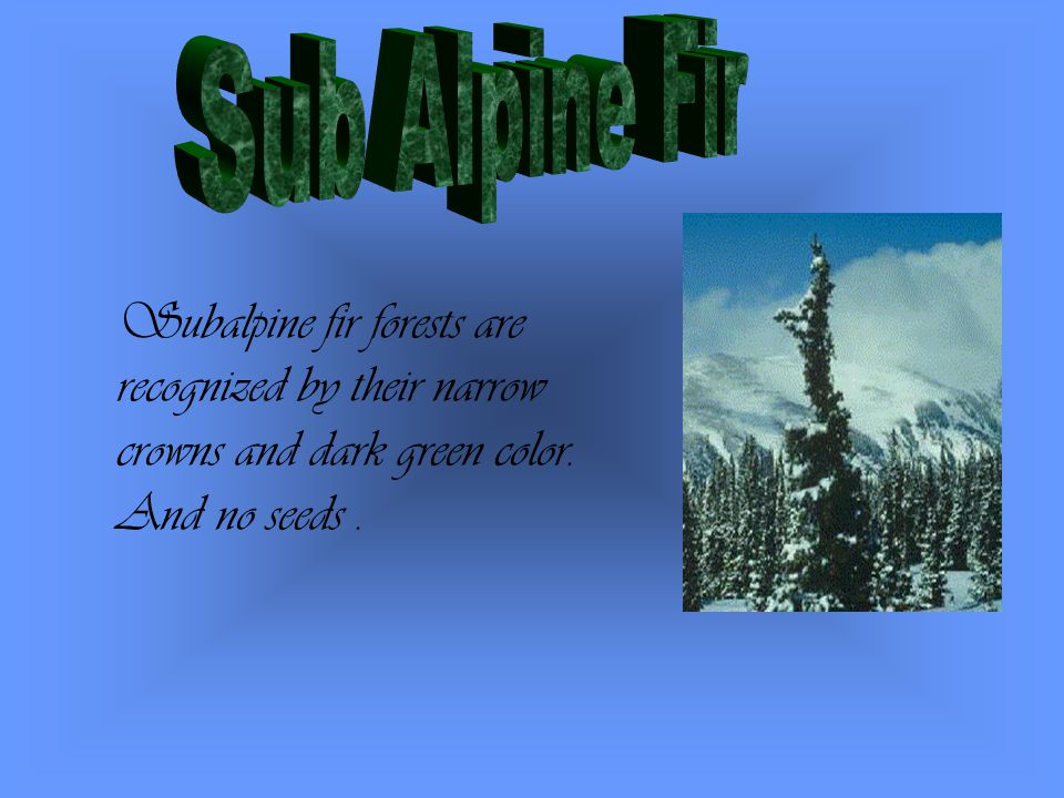 Subalpine fir forests are recognized by their narrow crowns and dark green color. And no seeds.