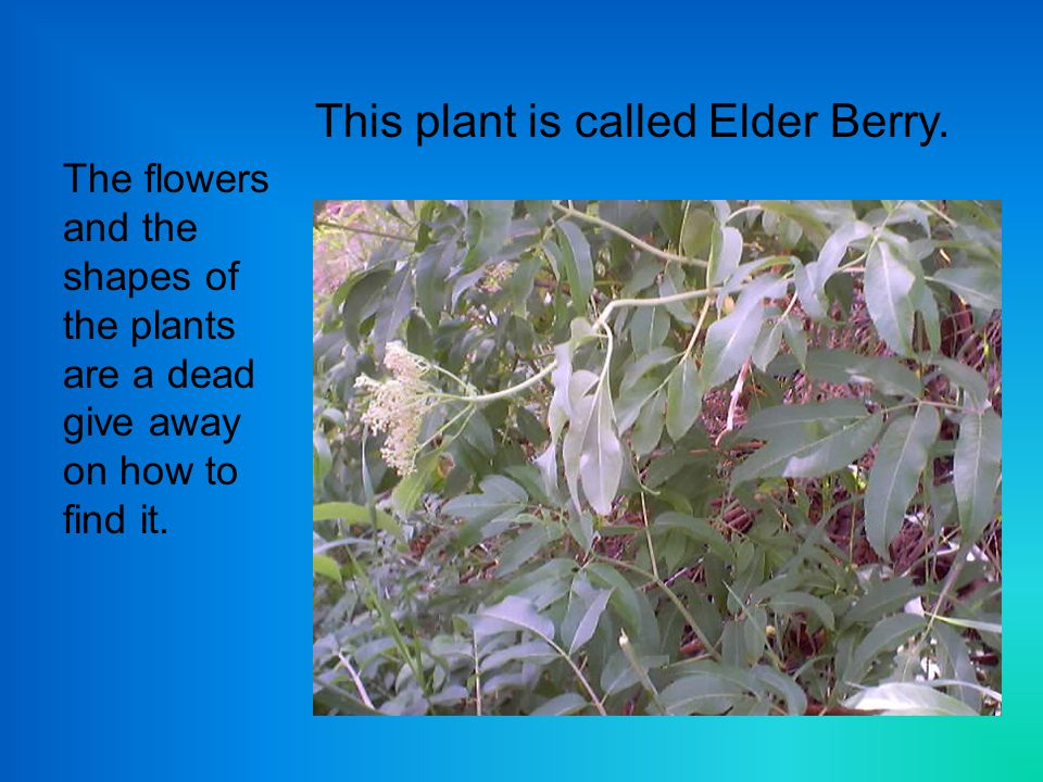 This plant is called Elder Berry.