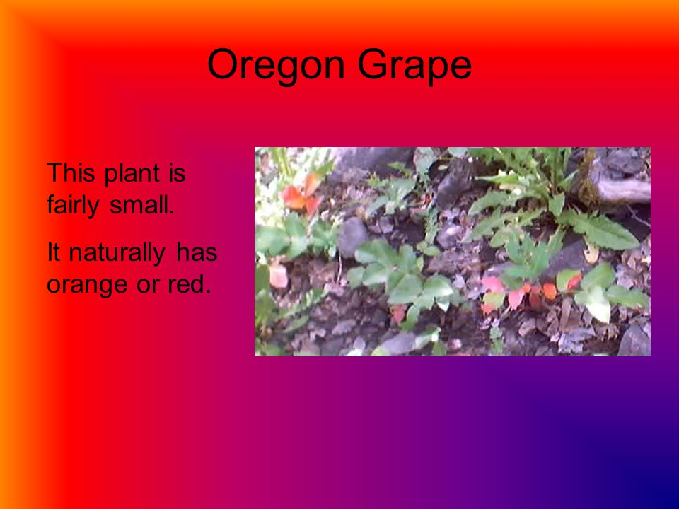 Oregon Grape This plant is fairly small. It naturally has orange or red.