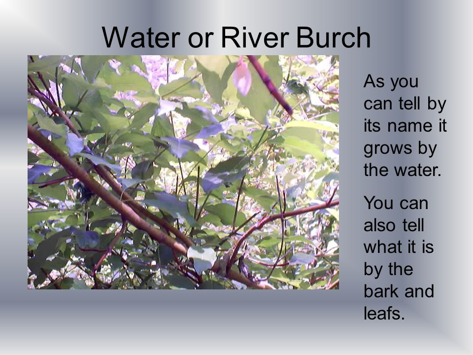 Water or River Burch As you can tell by its name it grows by the water.