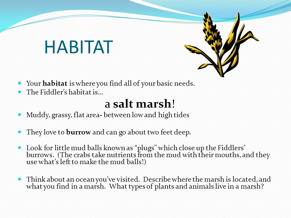 HABITAT Your habitat is where you find all of your basic needs. The Fiddler's habitat is… a salt marsh! Muddy, grassy, flat area- between low and high