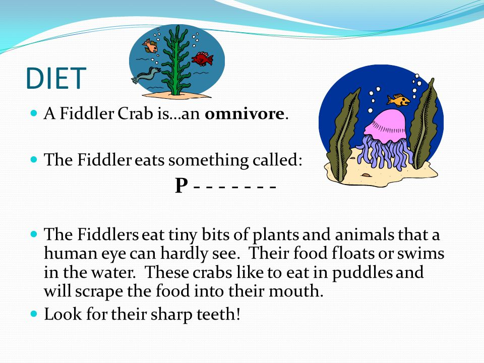 DIET A Fiddler Crab is…an omnivore. The Fiddler eats something called: P - - - - - - - The Fiddlers eat tiny bits of plants and animals that a human e
