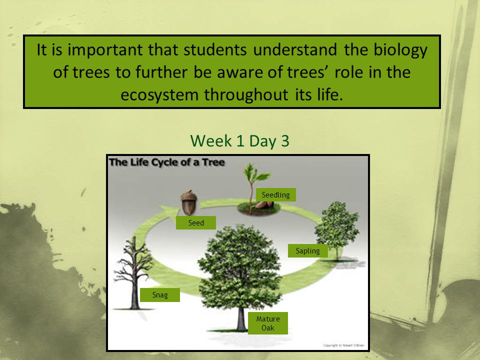 How to Measure & ID Week 1 Day 3 It is important that students understand the biology of trees to further be aware of trees' role in the ecosystem thr