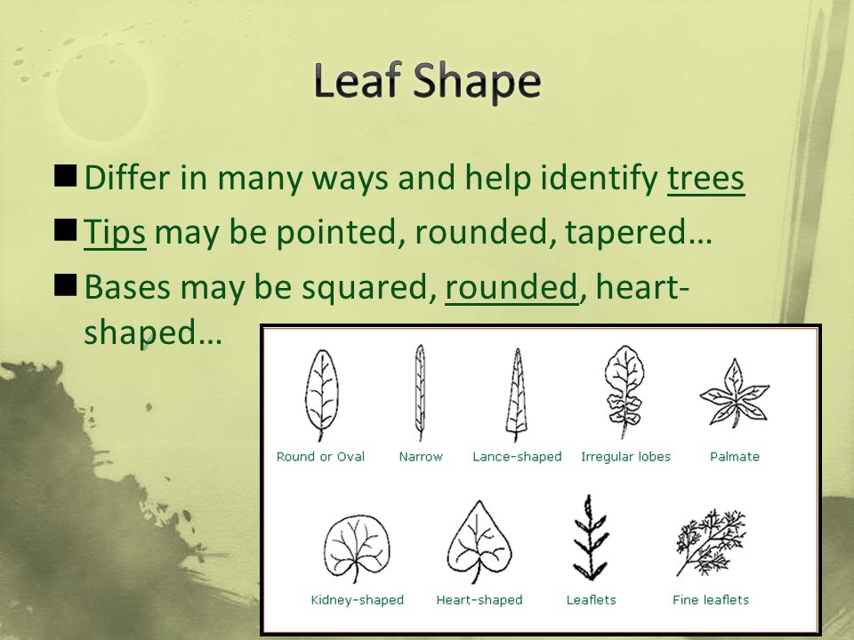 Differ in many ways and help identify trees Tips may be pointed, rounded, tapered… Bases may be squared, rounded, heart- shaped…