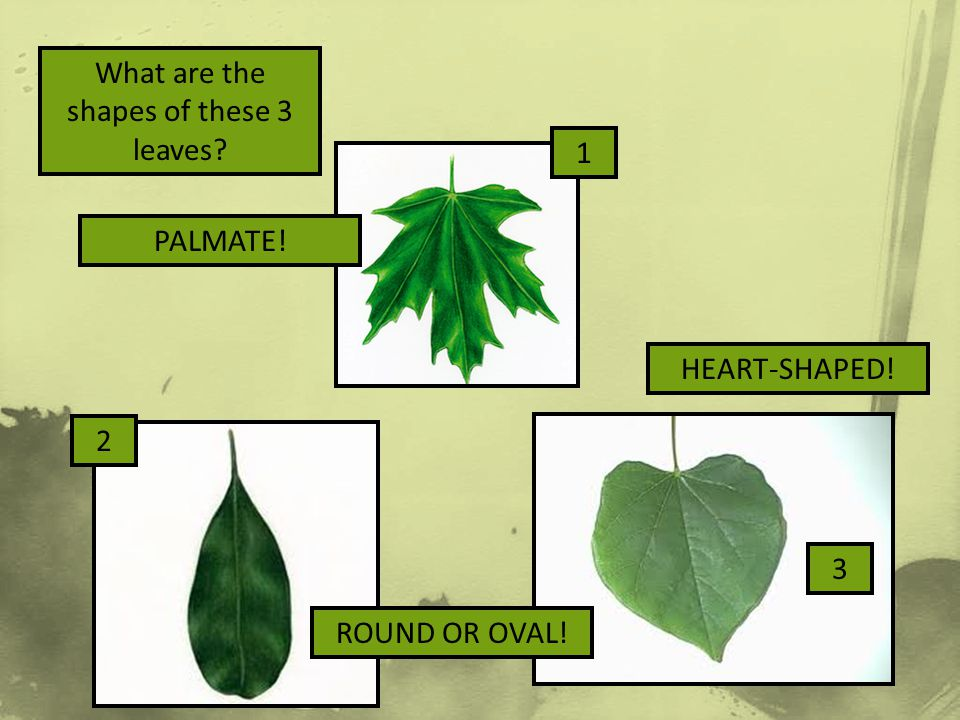 What are the shapes of these 3 leaves? PALMATE! HEART-SHAPED! ROUND OR OVAL! 1 2 3