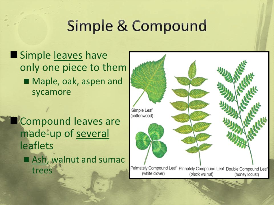 Simple leaves have only one piece to them Maple, oak, aspen and sycamore Compound leaves are made-up of several leaflets Ash, walnut and sumac trees