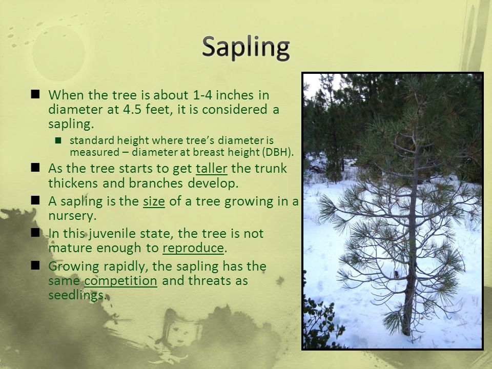 When the tree is about 1-4 inches in diameter at 4.5 feet, it is considered a sapling. standard height where tree's diameter is measured – diameter at