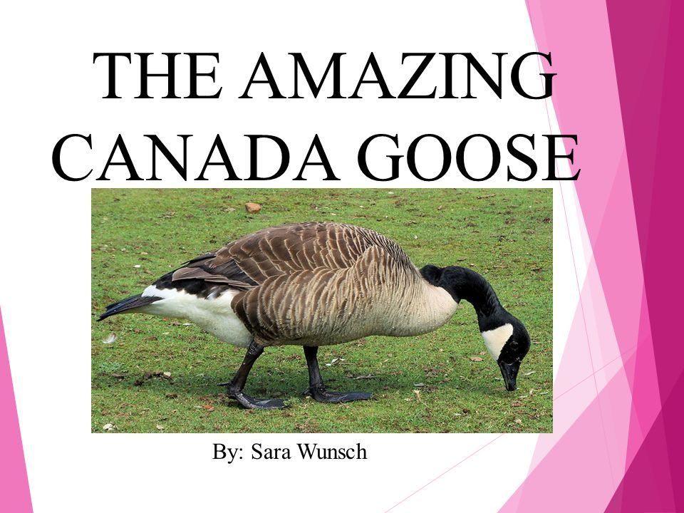 THE AMAZING CANADA GOOSE By: Sara Wunsch