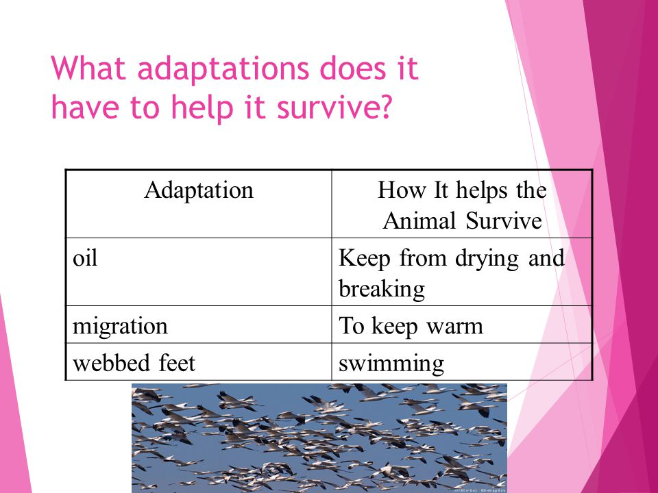 What adaptations does it have to help it survive.