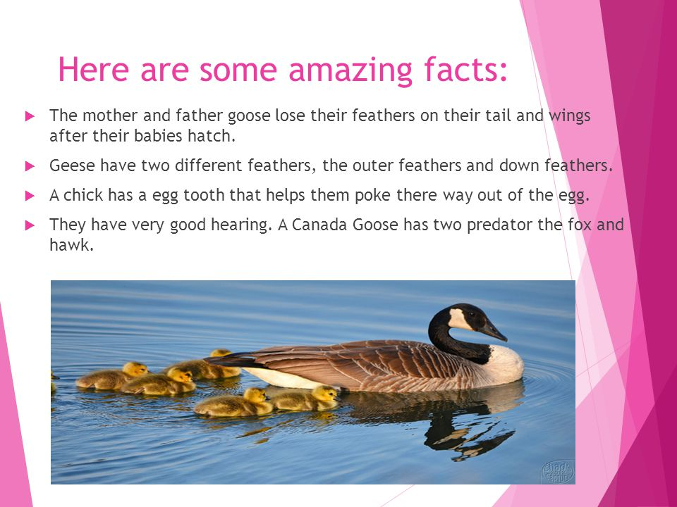 Here are some amazing facts:  The mother and father goose lose their feathers on their tail and wings after their babies hatch.