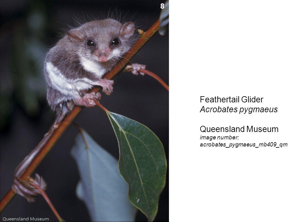 Feathertail Glider Acrobates pygmaeus Queensland Museum image number: acrobates_pygmaeus_mb409_qm 8