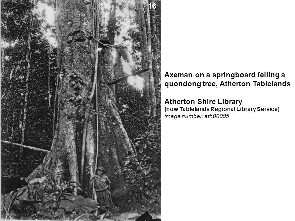 Axeman on a springboard felling a quondong tree, Atherton Tablelands Atherton Shire Library [now Tablelands Regional Library Service] image number: at