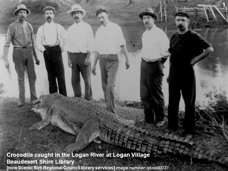 Crocodile caught in the Logan River at Logan Village Beaudesert Shire Library [now Scenic Rim Regional Council library services] image number: qbsc000