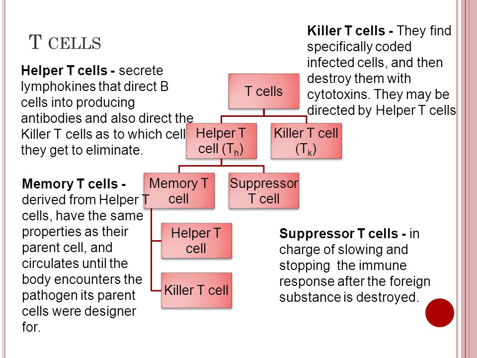 T CELLS T cells Helper T cell (Th) Memory T cell Helper T cell Killer T cell Suppressor T cell Killer T cell (Tk) Suppressor T cells - in charge of sl