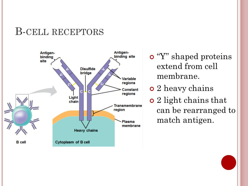 """B- CELL RECEPTORS """"Y"""" shaped proteins extend from cell membrane. 2 heavy chains 2 light chains that can be rearranged to match antigen."""