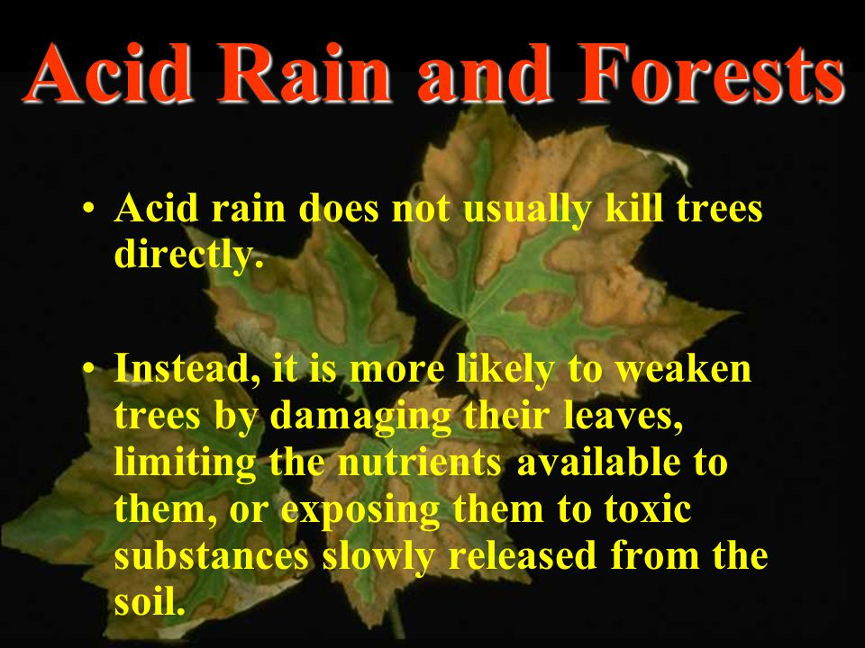 Acid Rain and Forests Acid rain does not usually kill trees directly. Instead, it is more likely to weaken trees by damaging their leaves, limiting th