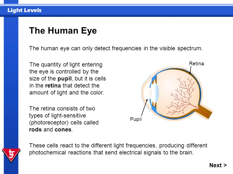 Light Levels The Human Eye The quantity of light entering the eye is controlled by the size of the pupil, but it is cells in the retina that detect th