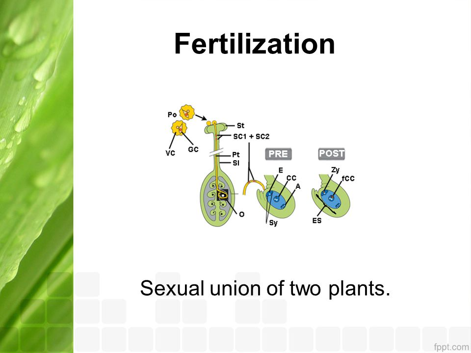 Fertilization Sexual union of two plants.