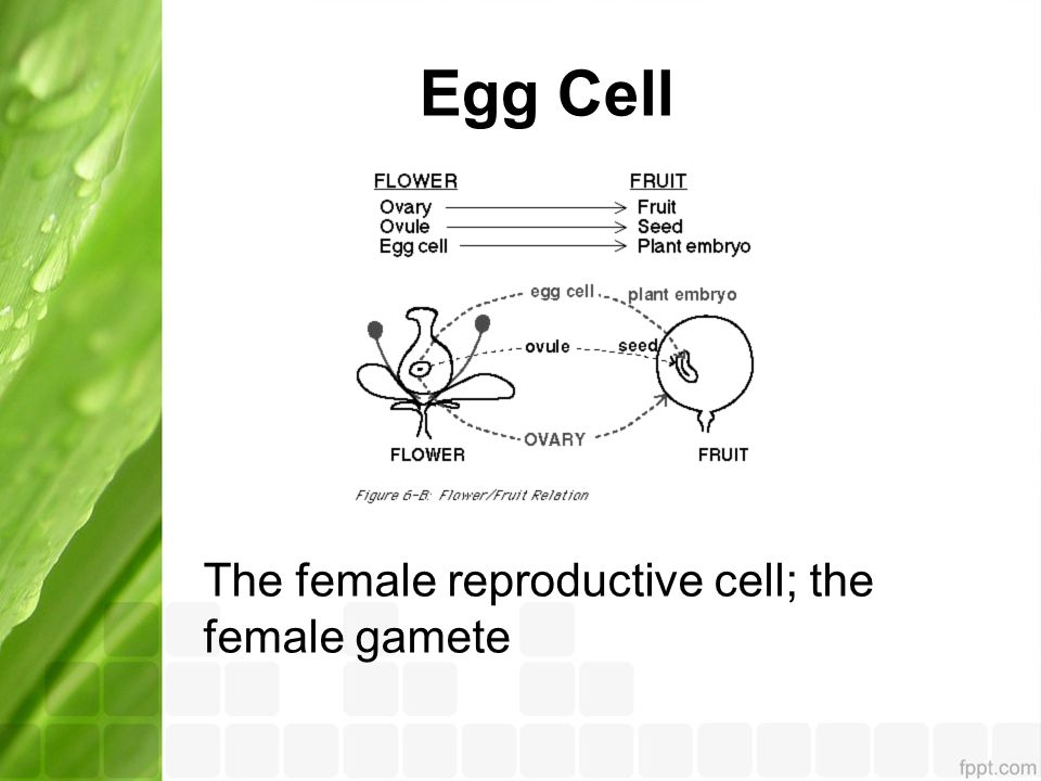 Egg Cell The female reproductive cell; the female gamete
