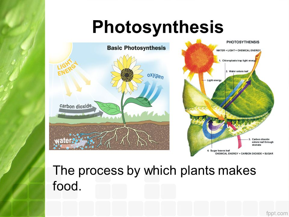 Photosynthesis The process by which plants makes food.