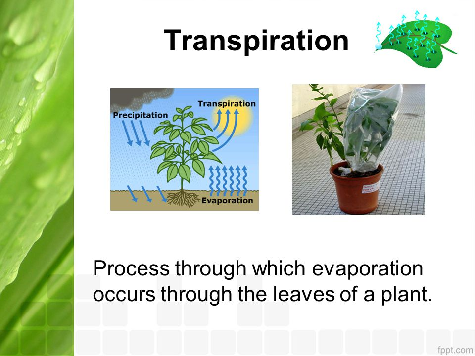 Transpiration Process through which evaporation occurs through the leaves of a plant.