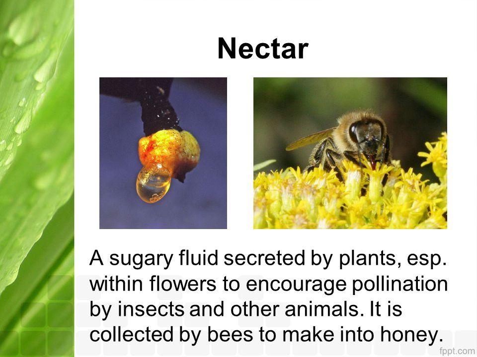 Nectar A sugary fluid secreted by plants, esp.