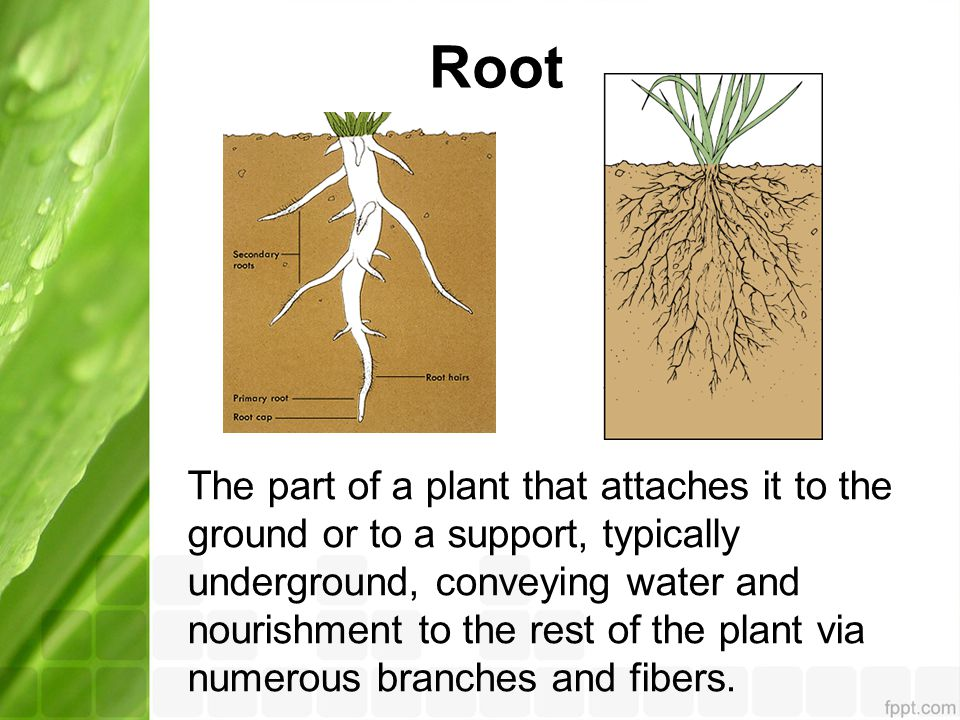 Root The part of a plant that attaches it to the ground or to a support, typically underground, conveying water and nourishment to the rest of the plant via numerous branches and fibers.